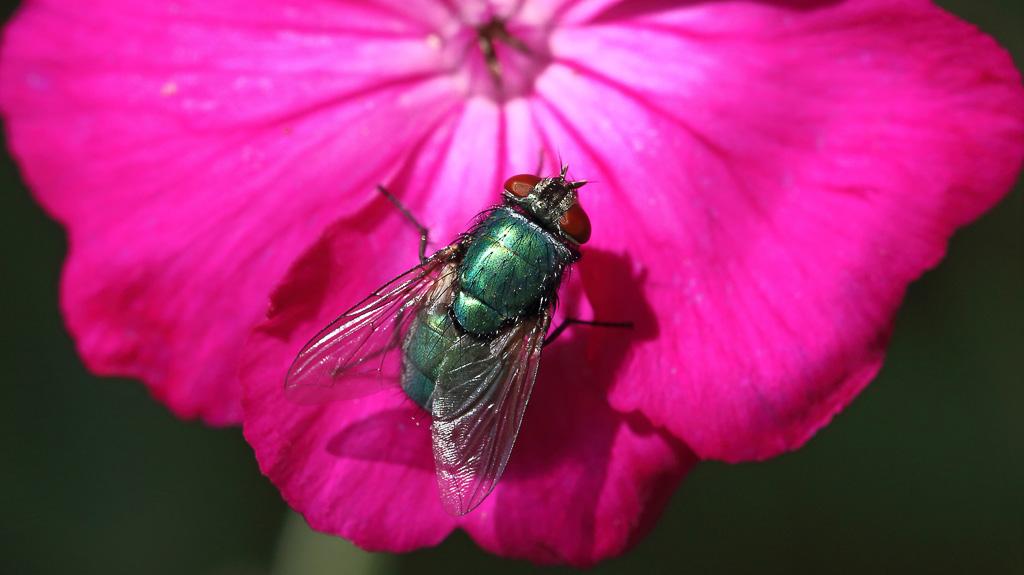 Flue på blomst
