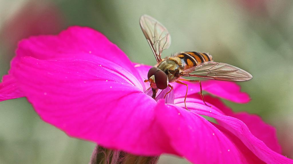 Svirreflue på blomst